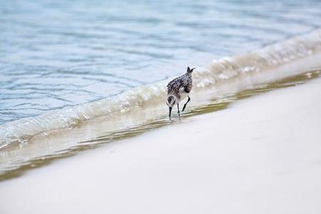 ruiseñor: Mockingbird caminando por la playa en busca de comida