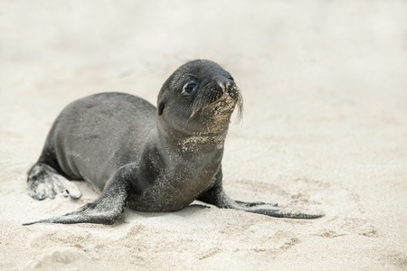 Newborn Sea Lion struggling to walk, Santa Fe, Galapagos photo