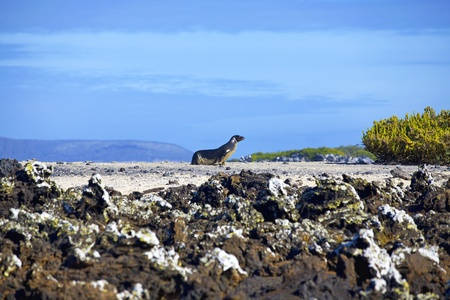 Sea lion walking on Las Tintoreras, Galapagos photo