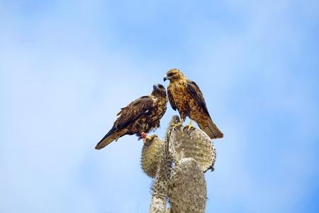 fe: Two Galapagos Hawks on a cactus,  Santa Fe