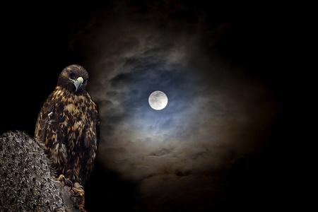 Galapagos Hawk at night Stock Photo