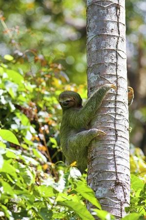 sloth: Un perezoso de tres dedos Foto de archivo