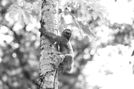 A Three-toed Sloth photo