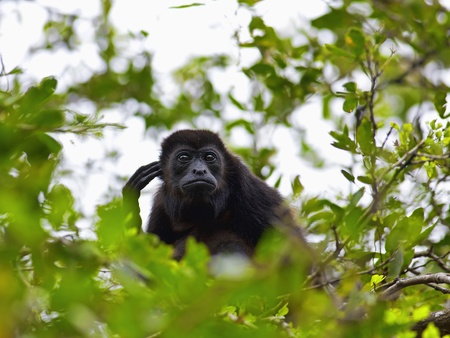 howler: A Howler monkey sitting in the trees, Costa Rica