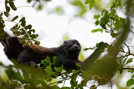 howler: A Howler monkey sitting in the trees, eating leaves,  Costa Rica