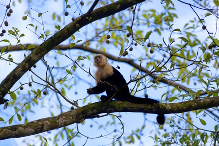 manuel: White faced Capuchin sitting in a tree, with blue sky in the background