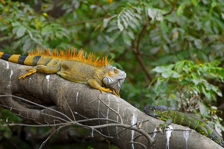 Two Green Iguanas facing each other - mating game. Stock Photo
