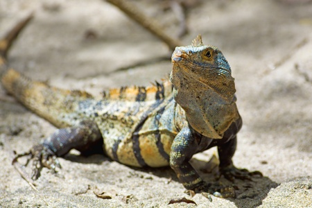 tailed: Black spiny-tailed Iguana on the beach in Manuel Antonio, Costa Rica Stock Photo