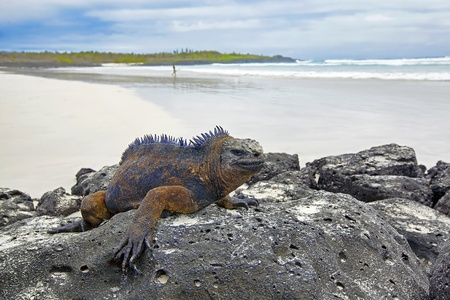 Portrait of a Marine Iguana on Galapagos Stock Photo