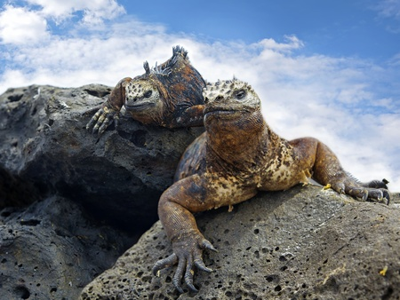 Marine Iguanas on a rock Stock Photo