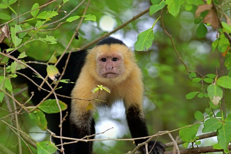 white necked: Bianco faced Capuchin