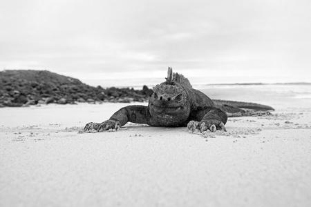 sea creature: Galapagos marine Iguana