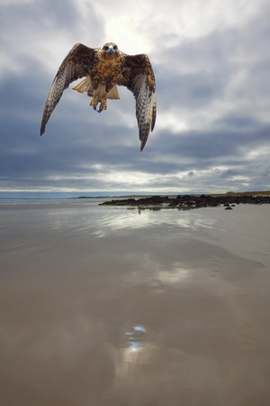 halcones: Galapagos Hawk Foto de archivo