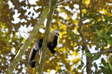 white necked: Bianco faced Capuchin seduto su un albero, Manuel Antonio National Park Archivio Fotografico
