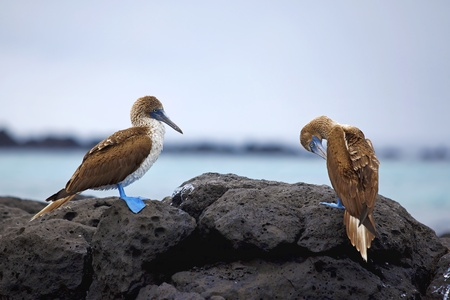 boobies: Blue footed boobies on the rocky coastline of Galapagos