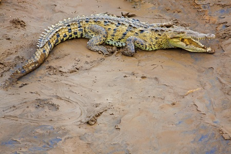 Crocodile resting at the riverbank in Costa Rica photo
