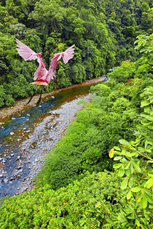 Roseate Spoonbill flying over the Costa Rican jungle Stock Photo