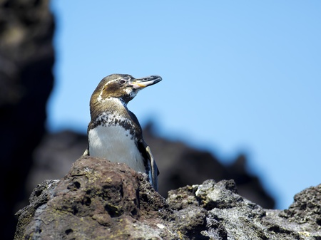 A Galapagos Penguin looking around at Bartolome Island Stock Photo - 12442393