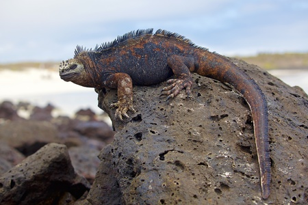 Portrait of a Marine Iguana on Galapagos Stock Photo - 12442405