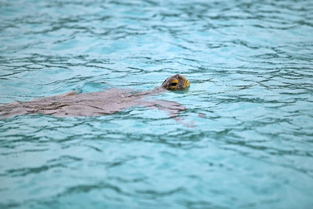 Green sea turtle lifting it s head above water to draw air photo