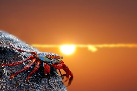 Close up of a Sally lightfoot crab in the sunset photo