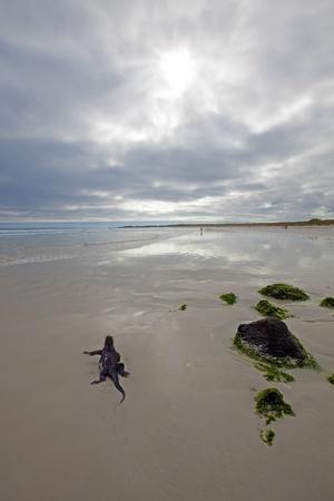 A marine iguana walking on the beach on Galapagos Stock Photo - 12786288