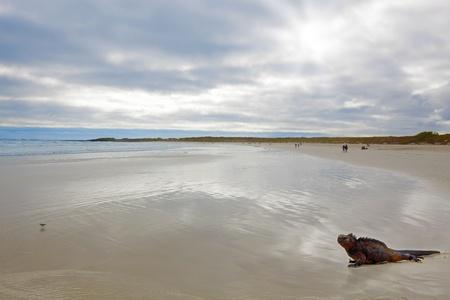 lagartija: Una iguana marina camina en la playa en las Islas Galápagos Foto de archivo