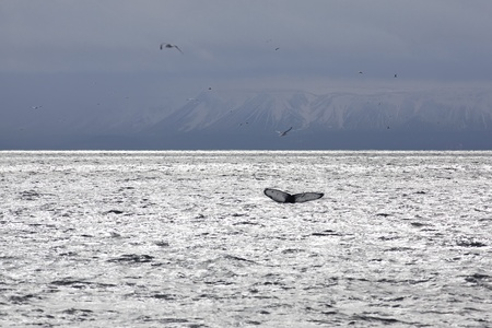 Whale tail in the waters outside Reykjavik, mountains in the background photo