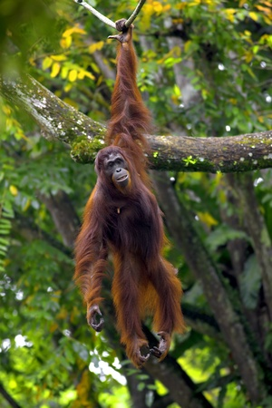 primates: Orangutan in the jungle in Borneo, Malaysia