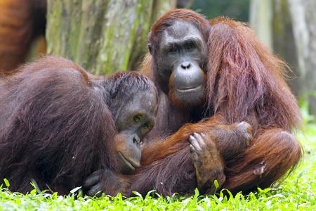 orang: Orangutan in the jungle in Borneo, Malaysia