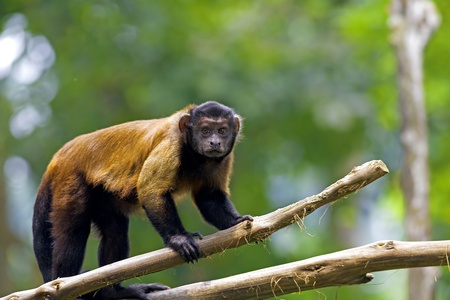capped: Brown Capuchin Monkey in the Brazilian forest