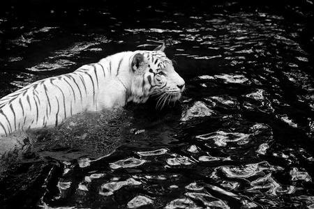 tigresa: Cuadro blanco y negro de un tigre blanco de pie en el agua