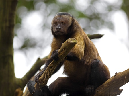 Brown Capuchin Monkey in the Brazilian forest photo