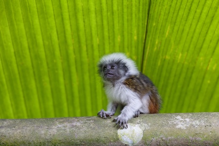 Cotton-top tamarin in the tropical forest of Colombia photo