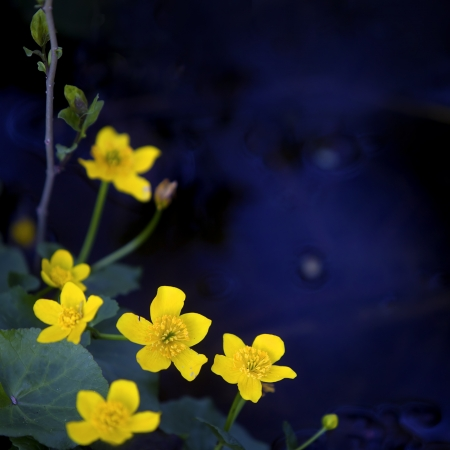 yellow wildflowers: Lesser Celandine with blue water in the background