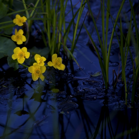 Lesser Celandine with blue water in the background photo