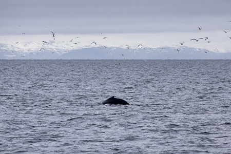 baleen whale: Humpback whale in the waters outside Reykjavik, mountains in the background