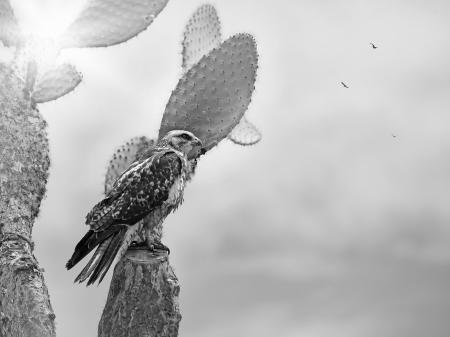 fe: Galapagos Hawk on a cactus,  Santa Fe