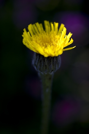 hawkweed: Yellow Hawkweed against black and purple background Stock Photo