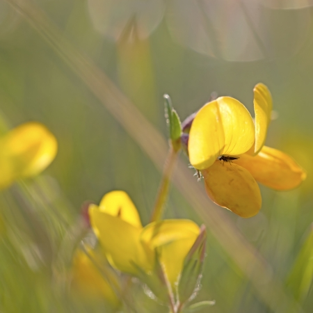 trefoil: Small fly on a yellow Bird s-foot Trefoil