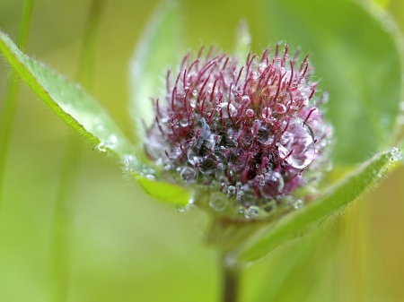Close-up of Red Clover with dew drops Stock Photo - 14588952