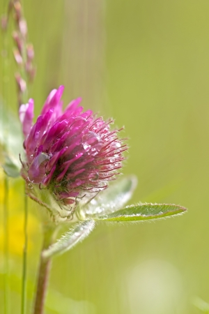 Close-up of Red Clover with dew drops photo