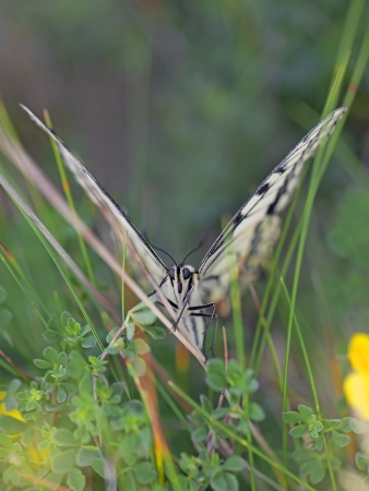 Close-up of a Swallowtail butterfly in the meadow photo