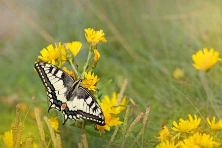Close-up of a Swallowtail butterfly on yellow Hawkweed photo