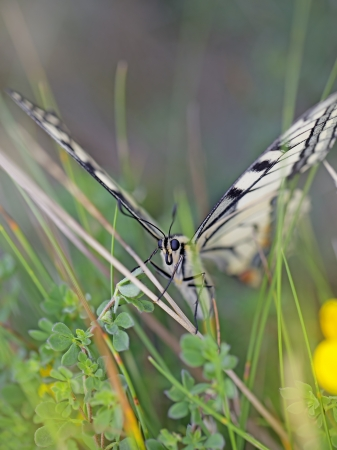 hawkweed: Close-up of a Swallowtail butterfly in the meadow Stock Photo