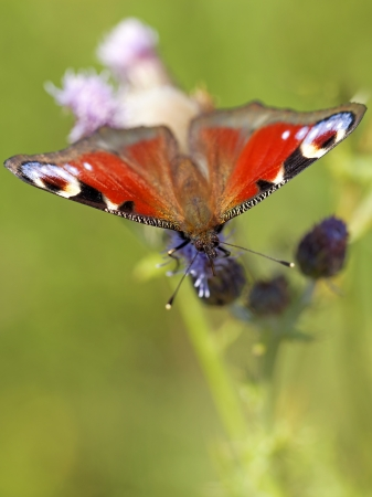 inachis: European peacock butterfly on Brown ray knapweed