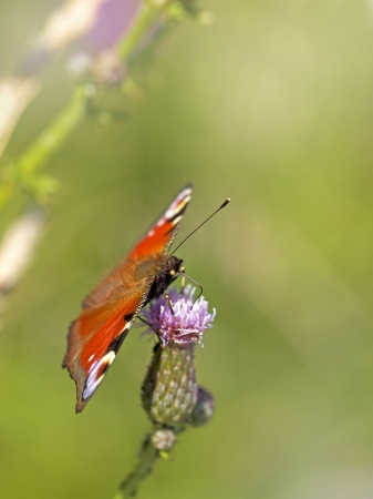 European peacock butterfly on Brown ray knapweed photo