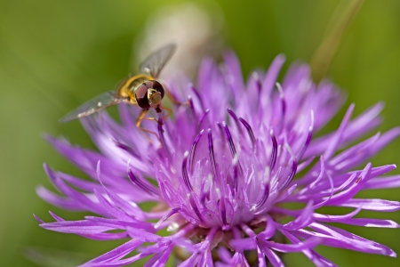 centaurea: Marmelade Hoverfly on a brown ray knapweed
