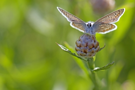 Common blue butterfly on a brown ray knapweed photo