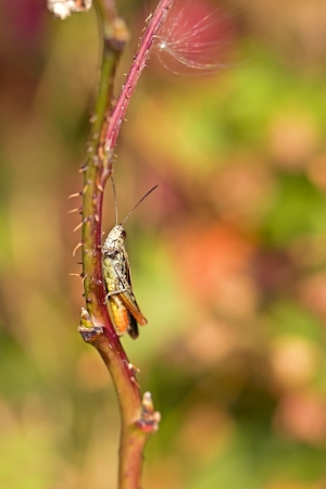 peaking: Grasshopper peaking out from behind a straw Stock Photo